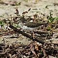 Actitis macularius - Chevalier grivelé