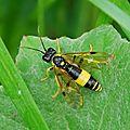 Tenthredo maculata