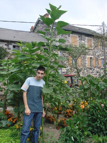 2008 08 28 Cyril a côté de son plus grand tournesol Hélianthus Lin