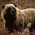 Les ours polaires se sont adaptés très rapidement à la vie dans l'arctique