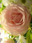 20100409_Rose_vonvon__2_