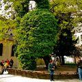 Le plus vieil arbre de Paris.