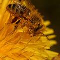 Semer des graines pour les abeilles