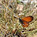 Un petit papillon attrayant : le procris corse...