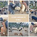 Des <b>cochons</b> hongrois, à Maubec