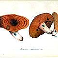 118 Lactarius deliciosus