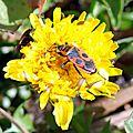 Le Gendarme (Pyrrhocoris apterus)