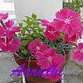 <b>Dianthus</b> gratianopolitanus
