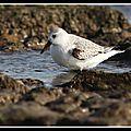 Focus sur le <b>Bécasseau</b> <b>sanderling</b> à la Plage de la Morelière, en hiver