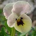 2008 04 16 Une fleur de pencée