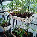 Tomates : passage dans la serre adossée