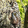 Mésange bleue 04.2015 construction d'un nid (1)