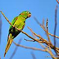 <b>Conure</b> Pavouane (Aratinga leucophthalma)