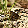 Lasiommata megera ( mégère )