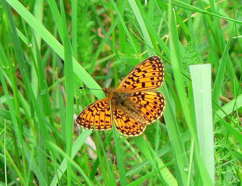 papillon : petit collier argenté