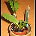 Dendrobium polysema