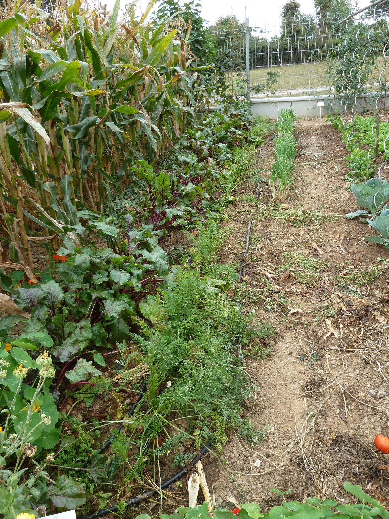 betteraves rouges et carottes ravagées par les mulots - www.passionpotager.canalblog.com