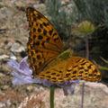 Papillons de l'été: moyen nacré