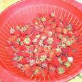 1ère récolte de fraises