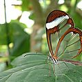 papillon transparent 2