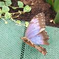 blenheim butterfly 2