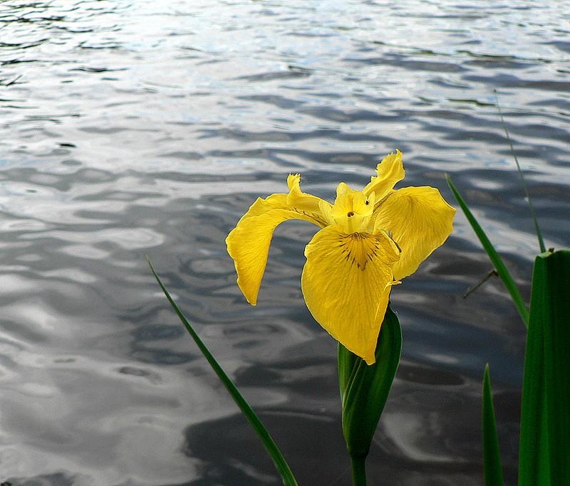 iris des marais (étang de Vergne-Labouesse)