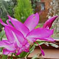 L'épiphyllum