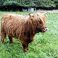 Highland / race bovine écossaise