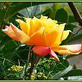 Rose 1909152