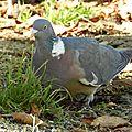 Pigeon61