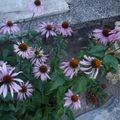 2009 08 17 Mes fleurs d'Echinacea purpurea
