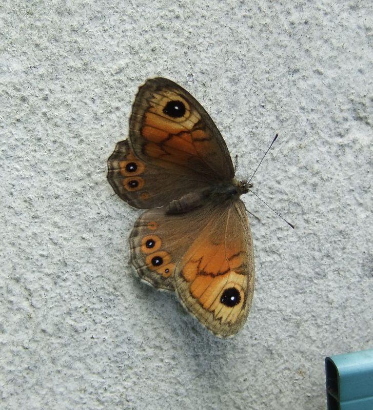 Ariane (Lasiommata maera adrasta), rue de Romainville