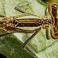 Platycnemis sp. femelle