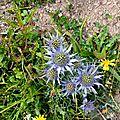 Chardon bleu des Pyrénées, eryngium bourgatii