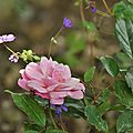 La première rose de 'sophie's perpetual'