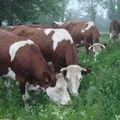 2008 06 08 Les vaches qui mangent l'herbe