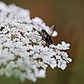 Tachinaire * <b>Tachinidae</b>