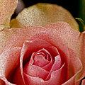 rose 19