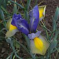 iris z. hollandica gypsy beauty (jardin)