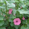 2008 08 19 Mes lavatères en fleurs