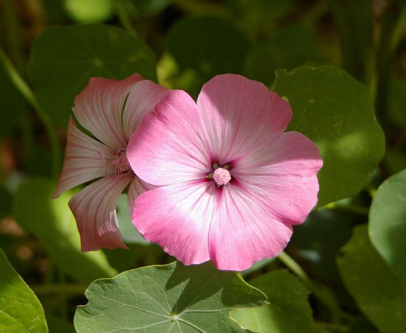 fleur rose pale