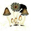 66 Coprinus fimetarius Planche n°135