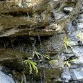 Grassette à longues feuilles