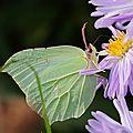 Gonopteryx_rhamni