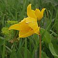 Dans les vignes , 1 - <b>tulipes</b>