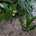 2009 05 13 Fleurs de mugets