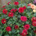 2009 08 25 Dahlias nain rouge en fleur