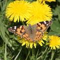 2009 04 19 Un papillon sur une fleur de pissenlit