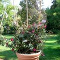 Le rosier 'Red Parfum' en pot