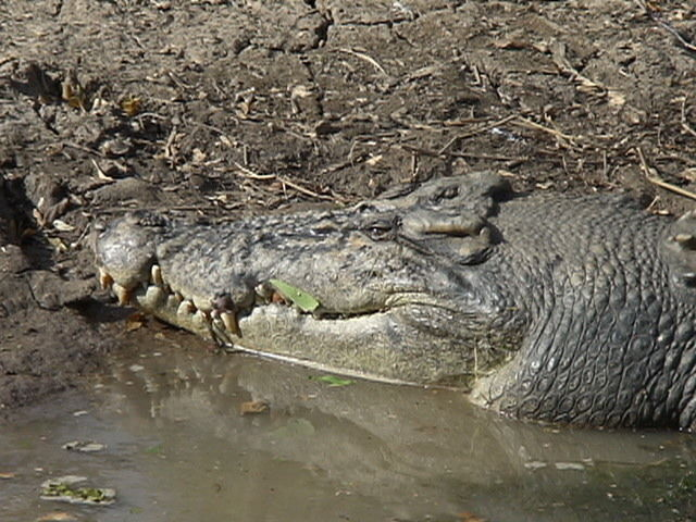 crocodile (2)